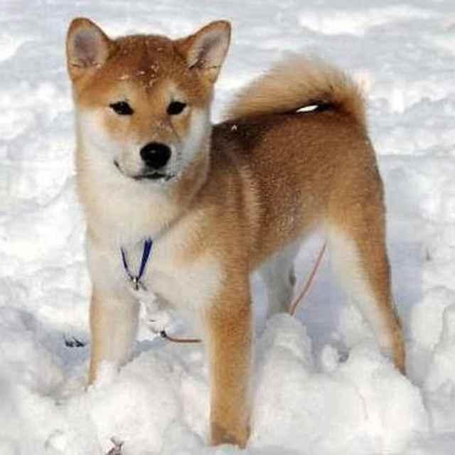 Shina Inu perro