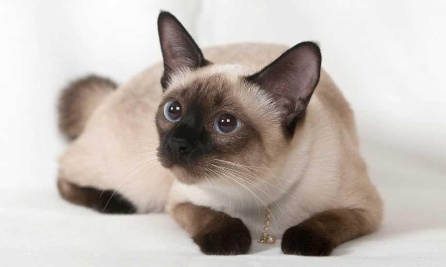siames gatos hipoalergenicos