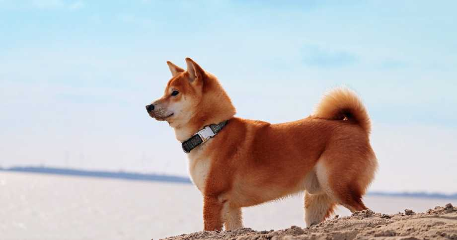 Shiba Inu perro playa