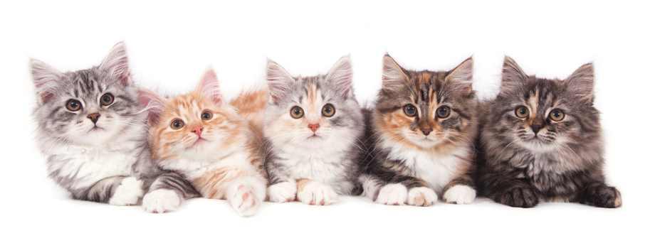 gato hipoalergenico siberiano
