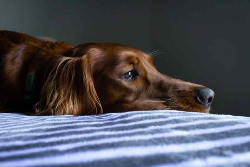 mal de cushing en perros