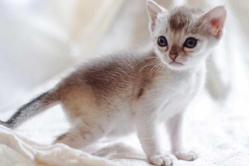 singapura gatito