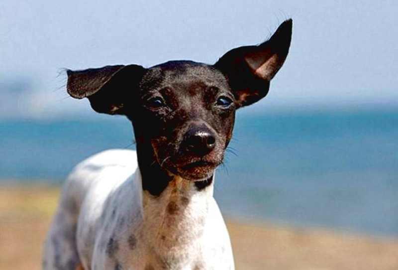 terrier perro japones