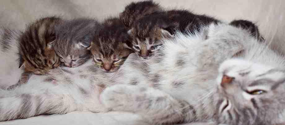 toxoplasmosis embarazo en gatos