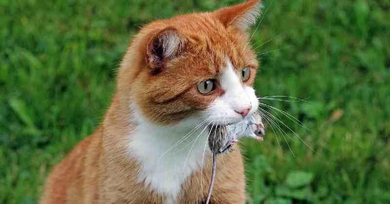 toxoplasmosis en gatos