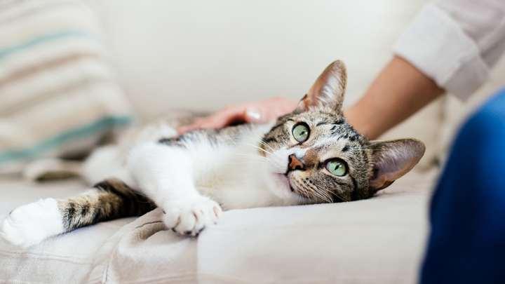 toxoplasmosis gatos caseros