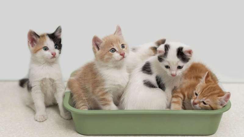 toxoplasmosis gatos contagio heces