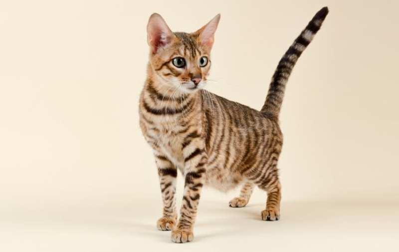toyger gatito