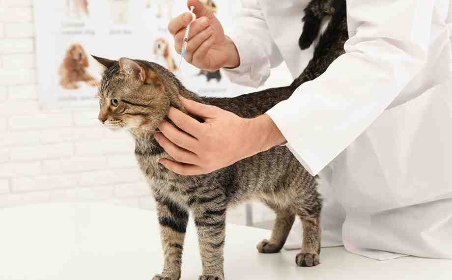 vacunas para gatos adultos
