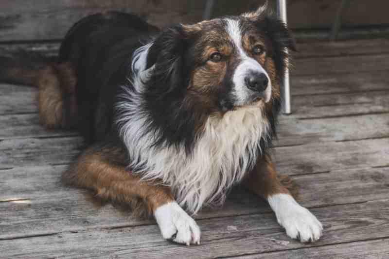 Collie  Raza de perro grande