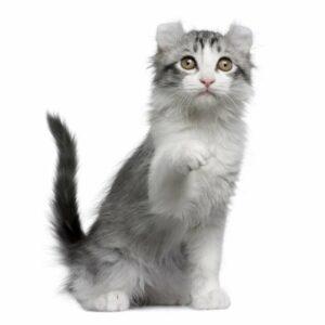 Kinkalow, el gato híbrido de orejas curveadas y patas cortas