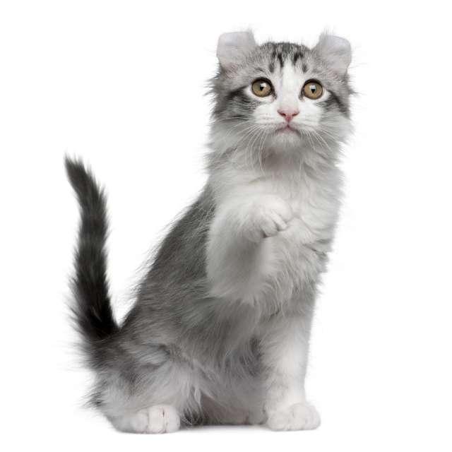 kinkalow gato