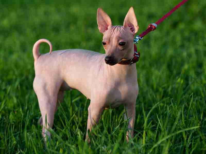 perros sin pelo american terrier sin pelo