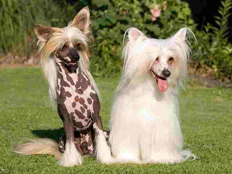 perros sin pelo chino crestado