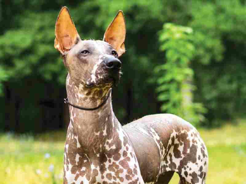 perros sin pelo Xoloitzcuintli