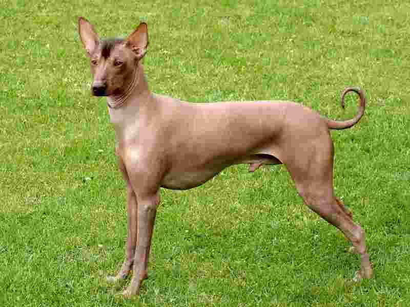 perros sin pelo perro peruano sin pelo